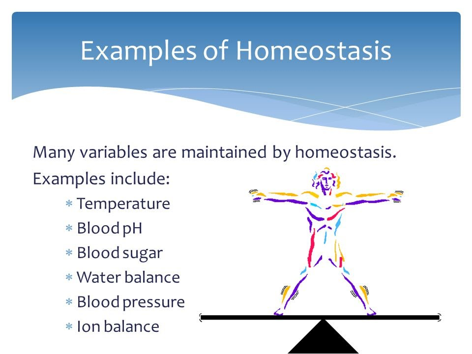 What is homeostasis and give an example