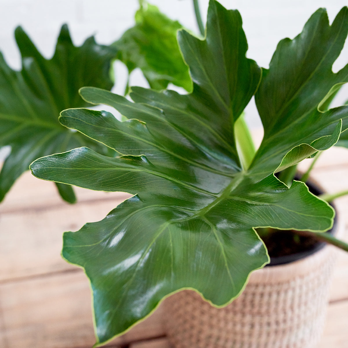 philodendron selloum care instructions
