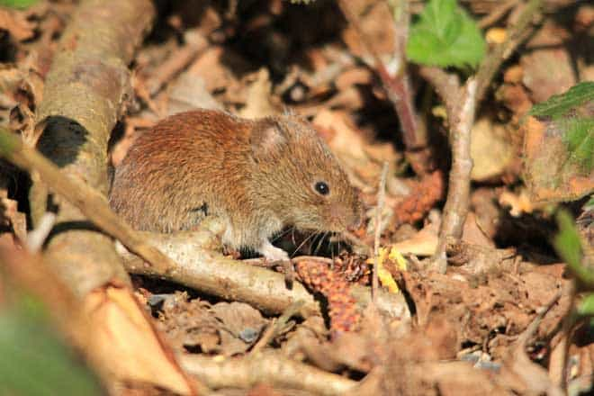 Voles in house how to catch it