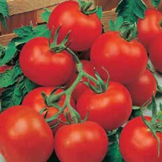 tomato marmande care instructions